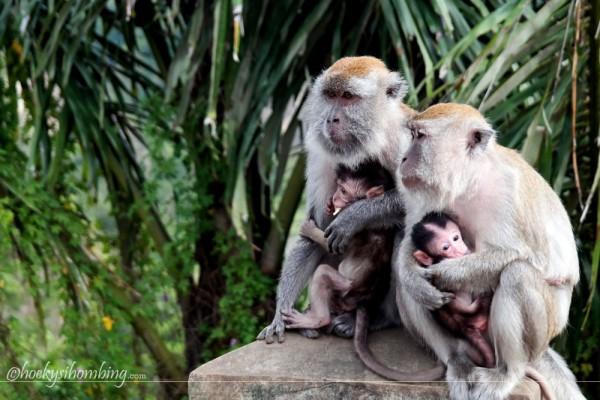 monyet liar di Ngarai Sianok