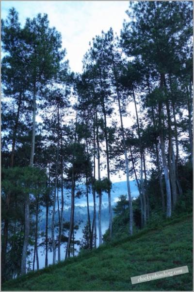 hutan pinus di tebing keraton