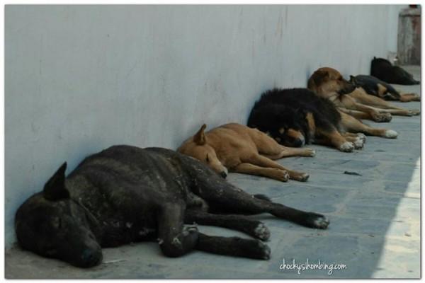 anjing-anjing-di-kuil-di-kathmandu